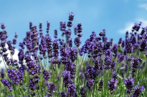 lavender-1519933_640